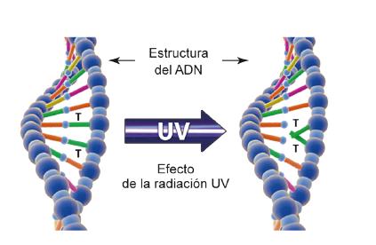 Efecto de inactivación del ADN de un microorganismo por exposición a luz ultravioleta